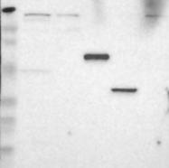 NBP1-86143 - CD4