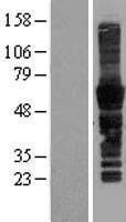 NBL1-16412 - CD43 Lysate