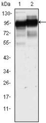 NBP1-47386 - CD44
