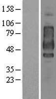 NBL1-08952 - CD44 Lysate