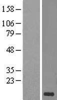 NBL1-08958 - CD59 Lysate