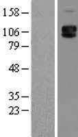 NBL1-15793 - CD62P Lysate