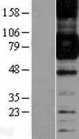 NBL1-10654 - CD64 Lysate