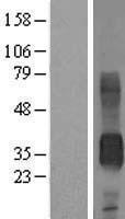 NBL1-08964 - CD7 Lysate