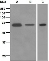 NBP1-95879 - CD73