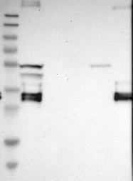 NBP1-85225 - CD74