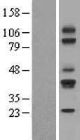 NBL1-08969 - CD79a Lysate