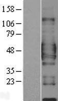 NBL1-08977 - CD84 Lysate