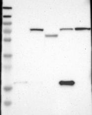 NBP1-88102 - CD89 / FCAR