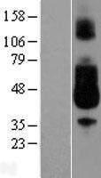 NBL1-10649 - CD89 Lysate