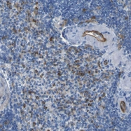 NBP1-88316 - CD93 / C1QR1
