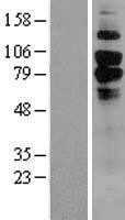 NBL1-08983 - CD93 Lysate
