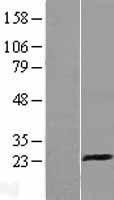 NBL1-12365 - CD94 Lysate