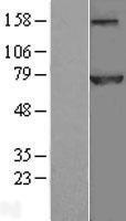 NBL1-08989 - CDC16 Lysate