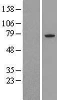 NBL1-08990 - CDC16 Lysate