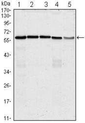 NBP1-47475 - CDC25C