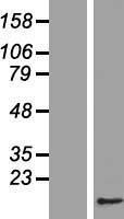 NBL1-08997 - CDC26 Lysate