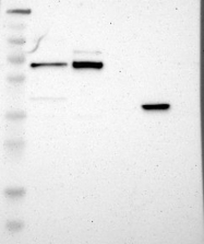 NBP1-90034 - CDK19 / CDC2L6