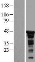 NBL1-09002 - CDC37 Lysate