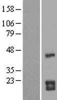 NBL1-09005 - CDC42 Lysate