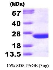 NBP1-30243 - CDC42