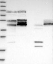 NBP1-88380 - CDC42EP4