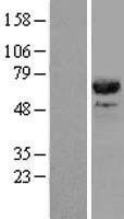 NBL1-09012 - CDC45L Lysate
