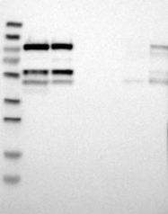 NBP1-85720 - CDC5L