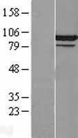NBL1-09013 - CDC5L Lysate