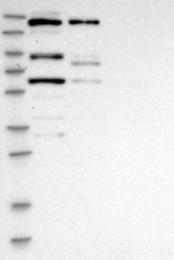 NBP1-87140 - CDCA2