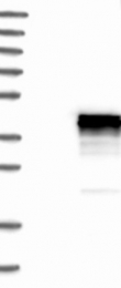 NBP1-83332 - CDCA3