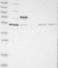 NBP1-83074 - CDCA7L / JPO2