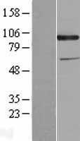 NBL1-09023 - CD318 / CDCP1 Lysate