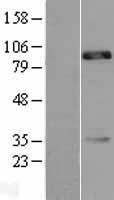 NBL1-09029 - CDH18 Lysate