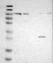 NBP1-80623 - Cadherin-like protein 26