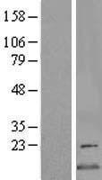 NBL1-09038 - CDK2AP2 Lysate