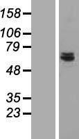 NBL1-09042 - CDK5RAP1 Lysate
