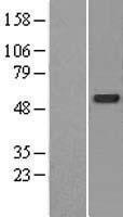 NBL1-09043 - CDK5RAP3 Lysate
