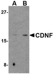 NBP1-76834 - CDNF