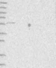 NBP1-85894 - CDS1
