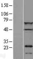 NBL1-09063 - CDT1 Lysate