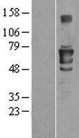 NBL1-09068 - CEACAM1 Lysate