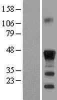 NBL1-09074 - CEBP Beta Lysate