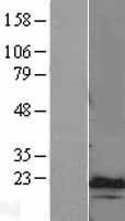 NBL1-09076 - CEBP gamma Lysate