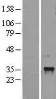 NBL1-09075 - CEBPE Lysate
