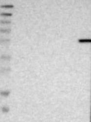 NBP1-89238 - CECR1