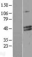 NBL1-09079 - CECR5 Lysate