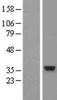NBL1-09090 - CENPO Lysate