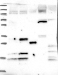 NBP1-84546 - CENP-V