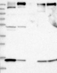NBP1-84542 - ARAP2 / CENTD1